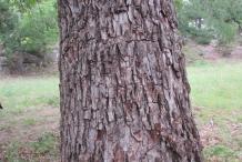 Pecan-bark