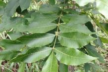 Pecan-leaves