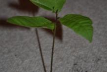 Pecan-plant
