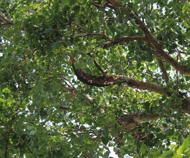 Branches-of-Peepal-Tree