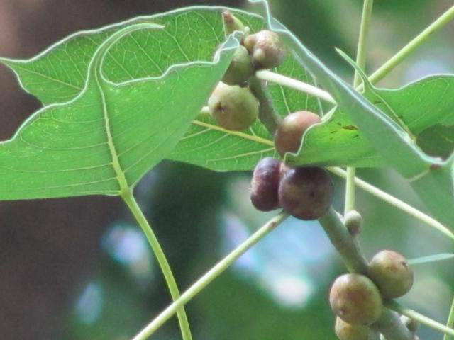 Fruits-of-Peepal-tree