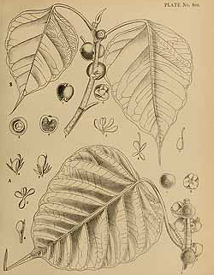 Plant-Illustration-of-Peepal-tree