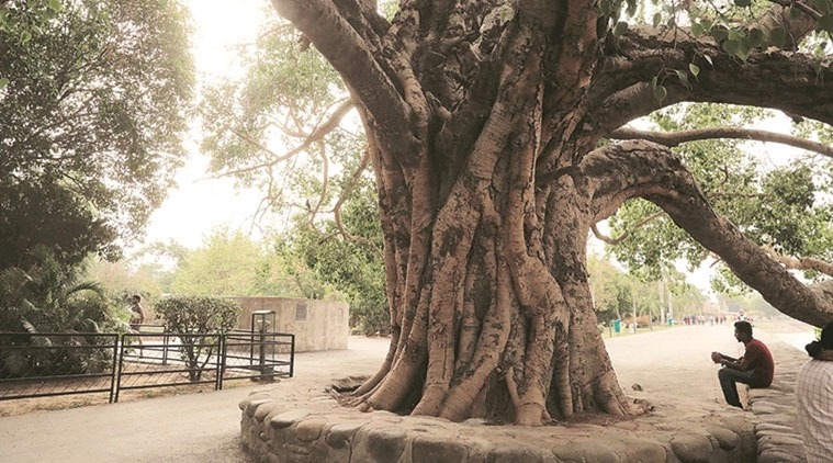 Trunk-of-Peepal-tree