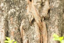 Bark-of-peepal-Tree