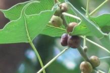 Fruits-of-Peepal-tree