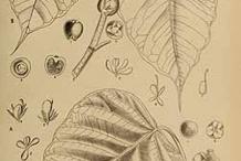 Plant-Illustration-of-Peepal-tree