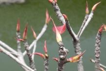 Tender-Leaves-of-Peepal-tree