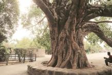 Trunk-of-Peepal-tree