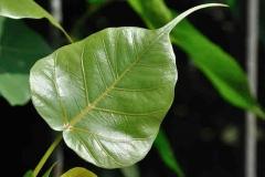 Peepal-leaf
