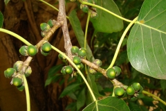 Unripe-fruit-of-Peepal-tree