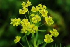Flowers-of-Peking-spurge