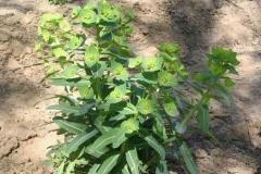 Peking-spurge-Plant