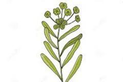 Plant-Illustration-of-Peking-spurge