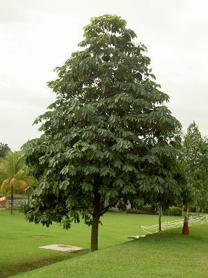 Palajau-tree