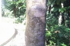 Pelajau-bark