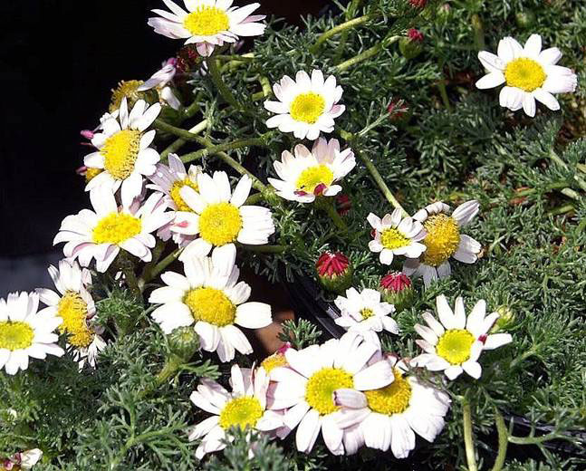 Flowers-of-Pellitory