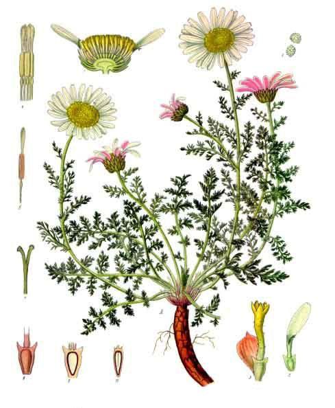 Plant-Illustration-of-Pellitory