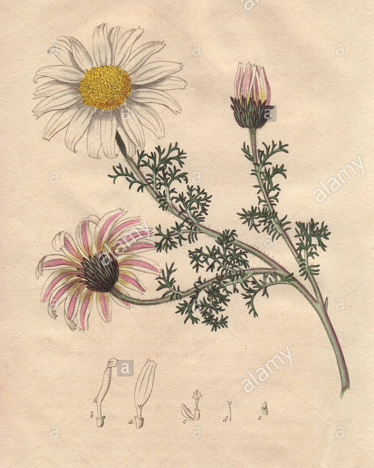Sketch-of-Pellitory-plant
