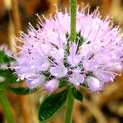 Closer-view-of-flower-of-Pennyroyal
