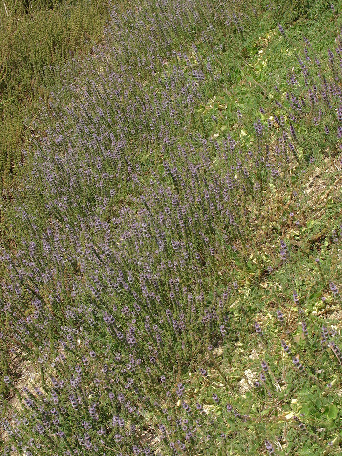 Pennyroyal-Plant-growing-wild