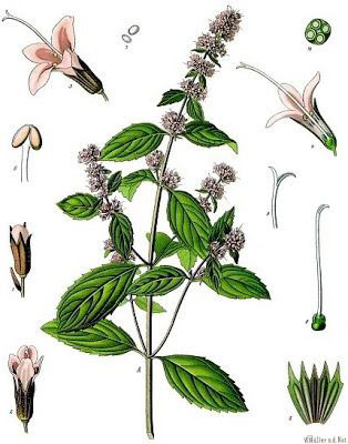 Plant-Illustration-of-Pennyroyal