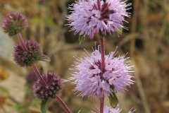 Flower-of-Pennyroyal-plant