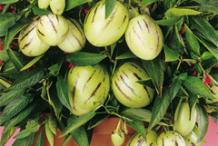 Pepino-melon-plant-on-the-pot