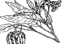 Sketch-of-Pepino-melon