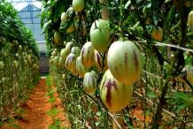 Pepino-melon-Farming