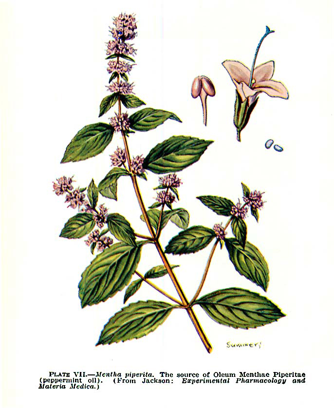 Peppermint-illustration