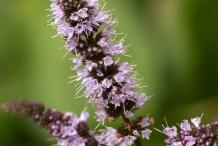 Peppermint-flower