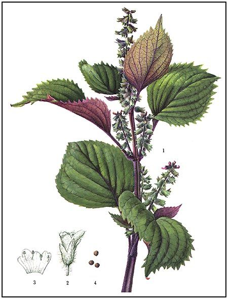 Plant illustration of Perilla