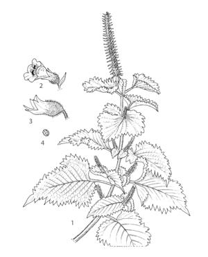 Sketch of Perilla
