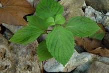 Small Perilla Plant