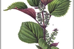 Plant illustration of Perilla