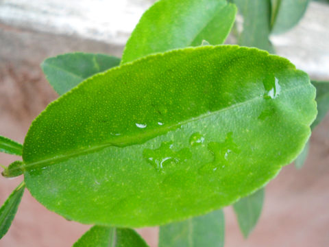 Leaves-of-Persian-Lime