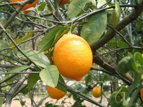 Ripe-fruit-on-the-tree