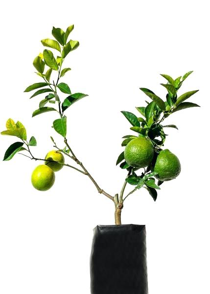 Small-Persian-Lime-plant