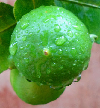 Unripe-Persian-Lime