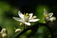 Flower-of-Persian-Lime