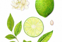 Plant-Illustration-of-Persian-Lime