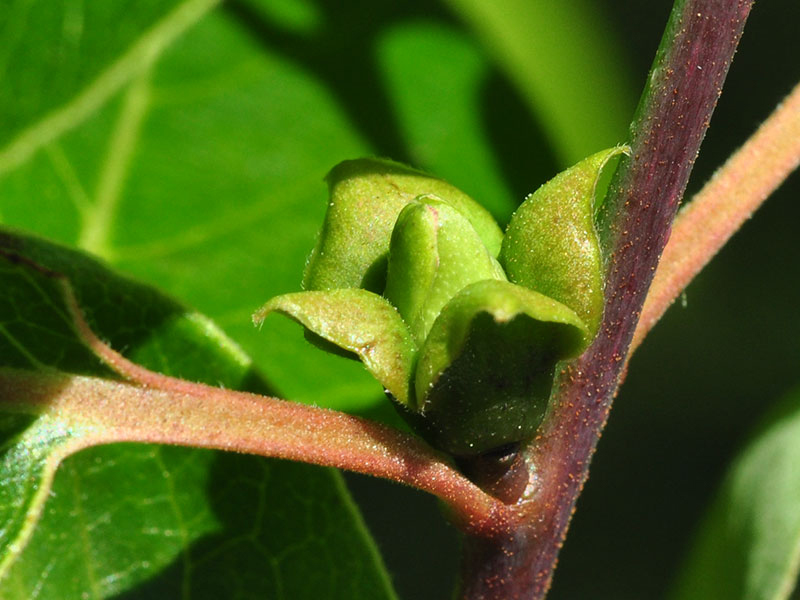 Flower-bud-of-Persimmon