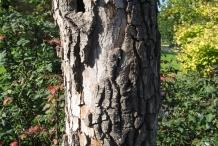 Persimmon-bark