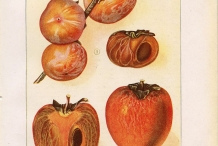 Persimmon-illustration