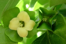Close-up-flower-of-Persimmon