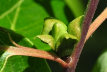 Flower-bud-of-Persimmon