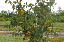 Persimmon-tree