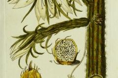 Plant-illustration-of-Peruvian-Apple-Cactus