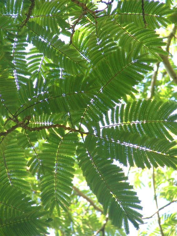 Petai-leaves