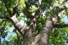Petai-tree
